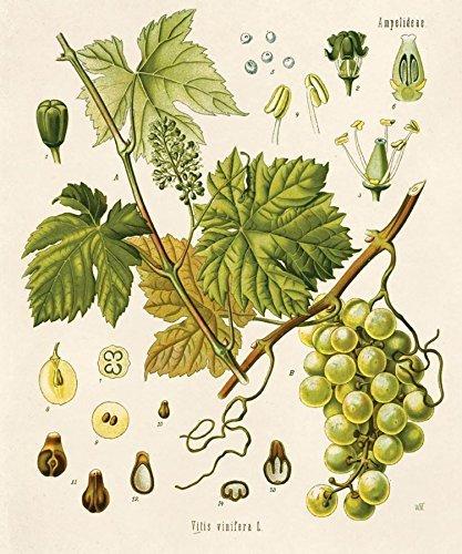 Amazon 16 X 20 Vintage Botanical Grape Vine Fruit Diagram