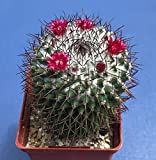 """mammillaria polythele SSP. durispina in a 4"""" Pot, Seed Grown Cactus Plant"""