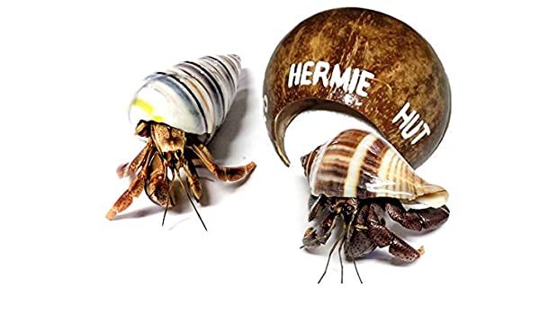 Amazon com: 2 Live Pet Hermit Crabs+Hermit Hut Natural