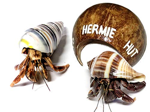 2 Live Pet Hermit Crabs+Hermit Hut Natural Hideout: Purple Pincher Land Crab