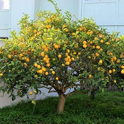 Amazon.com: 5 frescos cortes enano Meyer Lemon árbol planta ...