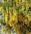 5 Golden Rain Tree Seeds, pride of India, China tree, or varnish tree,Great trees for shade