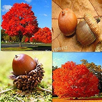 - Hot Sale Red Oak Tree seeds Quercus Alba Shade Acorn Seeds 10pcs- Arcis New