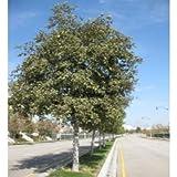 5000 White Alder Tree Seeds, Alnus Rhombifolia