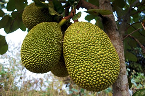 Jackfruit (black gold) Tropical Fruit Trees by bluestargarden168 (Image #1)