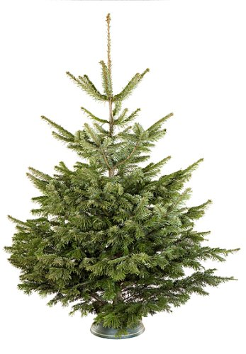 top 28 weihnachtsbaum echt beschneiter christbaum mit naturstamm 240 cm g 252 nstig. Black Bedroom Furniture Sets. Home Design Ideas