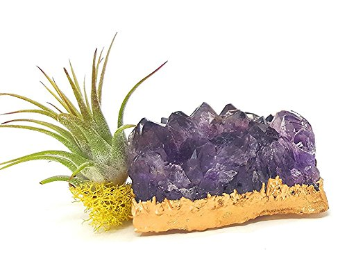 aura creations Tillandsia Air Plant and Purple Amethyst Crystal Healing Cluster/Gold Dipped Terrarium Fairy Garden Quartz Stone/Includes Gift Box