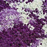 Outsidepride Alyssum Flower Seed Mix - 2000 Seeds