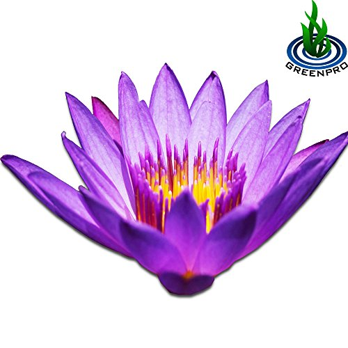 (Nymphaea Tina) Tropical Water Lily Tuber Live Aquatic Plants for Freshwater Fish Pets Pond Balcony Decorations by Greenpro
