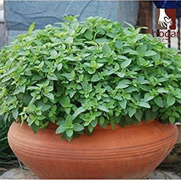 CUSHY 2016 Oferta especial de la venta caliente semillas para interior Semillas Regulares Semillas Bonsai 100 PC Lanza Mentha Spicata Para poleo