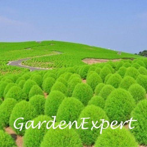 Las semillas 300pcs verde Kochia scoparia Jardín Cubierta de tierra Planta Planta Bonsai envío libre del jardín de DIY: Amazon.es: Jardín