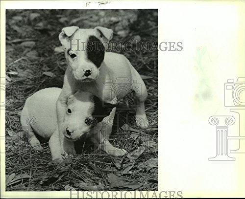 Terrier Mix Puppy - 1990 Press Photo Bull Terrier Mix Puppies for Adoption in St. Tammany Parish, LA