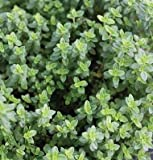 100 Seeds of Aromatic Lemon Thyme SF122 (Thymus Pulegioides)