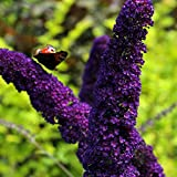 SANHOC Seeds Package: Black Knight - Buddleiaerfly, in 9cm PotSEED