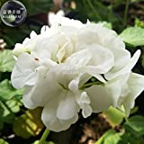 Geranium Purely White Bonsai Flower Seeds, 10 Seeds, Professional Pack, Pelargonium Hortorum Garden Plants