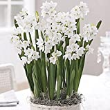 5 Ziva Paperwhites 13-15cm- Indoor Narcissus: Narcissus Tazetta: Nice, Healthy Bulbs for Holiday Forcing!!