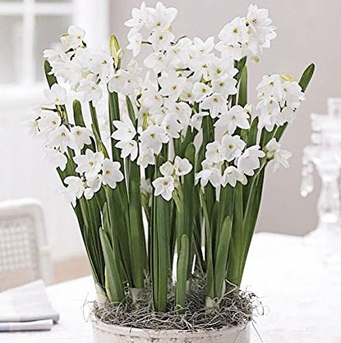 5 Ziva Paperwhites 13-15cm- Indoor Narcissus: Narcissus Tazetta: Nice, Healthy Bulbs for Holiday - White Narcissus Paper