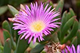 Carpobrotus Aequilaterus @@ rare mesembryanthemum exotic mesembs seed 100 SEEDS
