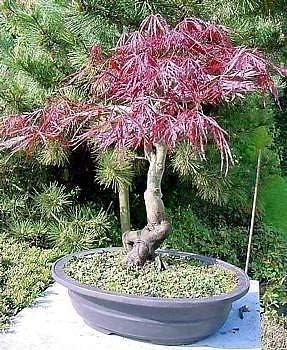 Amazon Com Inaba Shidare Japanese Maple 6 Seeds Acer Bonsai Home Kitchen