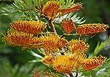 Grevillea Robusta, Southern Silky Oak, Australian Silver Oak Tree 10 Seeds