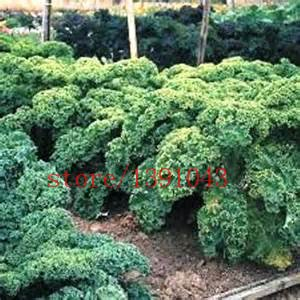 Curled Scotch (200pcs/bag Earthcare Seeds Kale Blue Scotch Curled vegetable seeds Courtyard plant for home &)