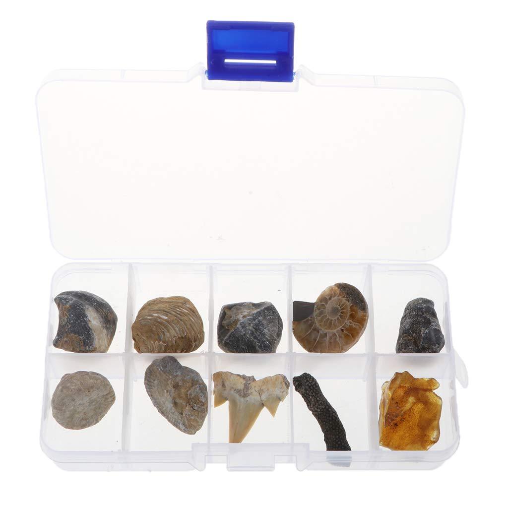 B Blesiya 10pcs Fossiles Naturel Collection Biologique Naturel Jouet Jeux d'exploration Enfant