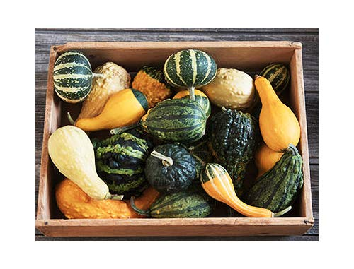 Ornamental Gourds - Small Mixed Gourds and Colors - 50 Seeds - Gourds Ornamental