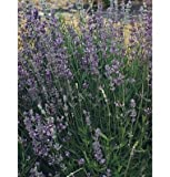 David's Garden Seeds Herb Lavender Munstead Type D943A (Purple) 200 Organic Seeds