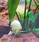 Polar Bear's Pet Shop HOT! 10 Plus White or Ivory Mystery Snail