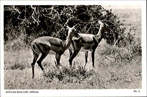African Wild Life-Impala Other Animals Original Vintage Postcard from CardCow Vintage Postcards