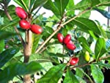 Miracle Fruit Tree - 2 Year Old