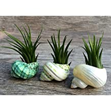 Turbo Shell Air Plant Trio | 3 Turbo Sea Shells and Tillandsia Gift Set | Nautical Crush Trading