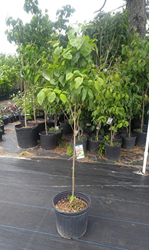 Flowering Red Trees - Red Flowering Dogwood Tree -2 Year