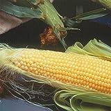Incredible Hybrid Corn Garden Seeds - 50 Lb Bulk - Non-GMO, R/M, Vegetable Gardening Seeds - Yellow Corn