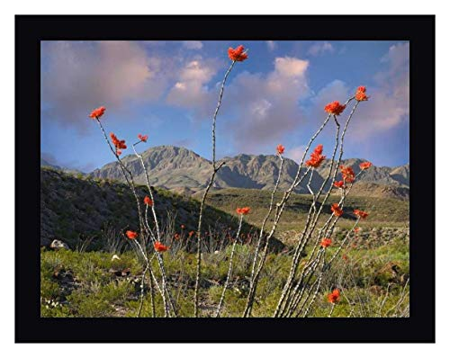 Ocotillo Big Bend Ranch State Park, Chihuahuan Desert, Texas by Tim Fitzharris - 21