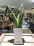 送料無料 サンセベリア ローレンティー コンパクタ サンスベリア 観葉植物 鉢植え 陶器 インテリア 北欧 ギフト お祝い おしゃれ ホワイトトール