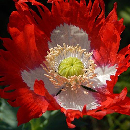 Outsidepride Poppy Danish Flag Flower Seeds - 5000 Seeds