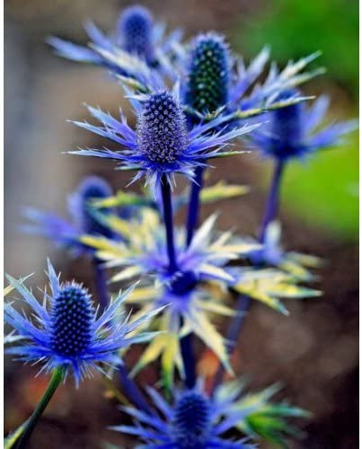 AMAZING METALLIC BLUE FLOWERS AND STEMS SEA HOLLY 120 SEEDS