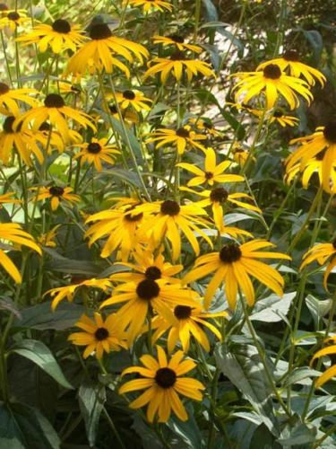 Amazon 30 rudbeckia black eyed susan flower seeds deer 30 rudbeckia black eyed susan flower seeds deer resistant perennial mightylinksfo