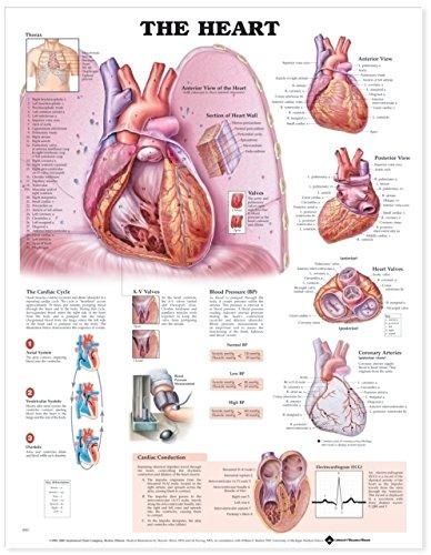 Amazon.com: The Heart Anatomical Chart: Anatomical Chart Company ...