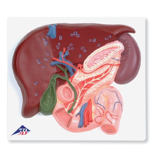 3b-scientific-ve315-liver-with-gall-bladder-pancreas-and-duodenum-model-16-x-79-x-71