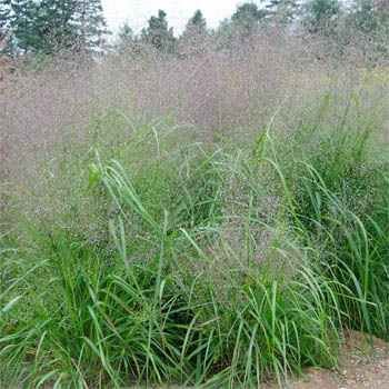 Outsidepride Sand Love Grass - 5000 Seeds (Sand Love Grass)