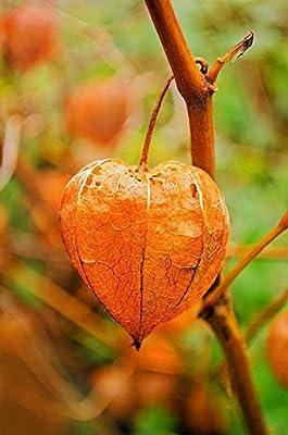 50 PERUVIAN GROUND CHERRY Physalis Peruviana Cape Gooseberry Fruit Veggie Seeds