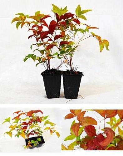SS0144 Nandina Domestica Fire Power Heavenly Bamboo 2 Pack Plant Outdoor Best Gift NEW