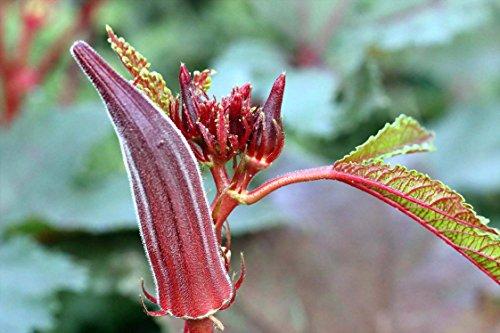 Okra,Red Burgundy Okra 75+Seeds Bulk Organic Non-GMO Vegetable Garden Seeds for Planting Outside Door