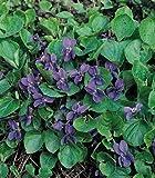 Viola odorata The Czar 250 seeds