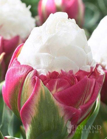 Double Flowering Tulip - 9