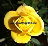 The new miniature rose plant small diamonds rose more than 100 flower seeds flower