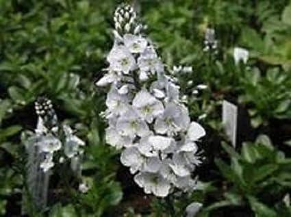Amazon 50 white veronica alba flower seeds perennial 50 white veronica alba flower seeds perennial mightylinksfo