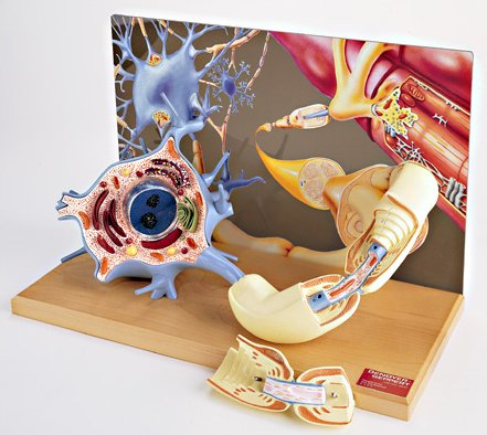 Denoyer-Geppert 3-D Motor Neuron Diorama Model (Neuron Model compare prices)